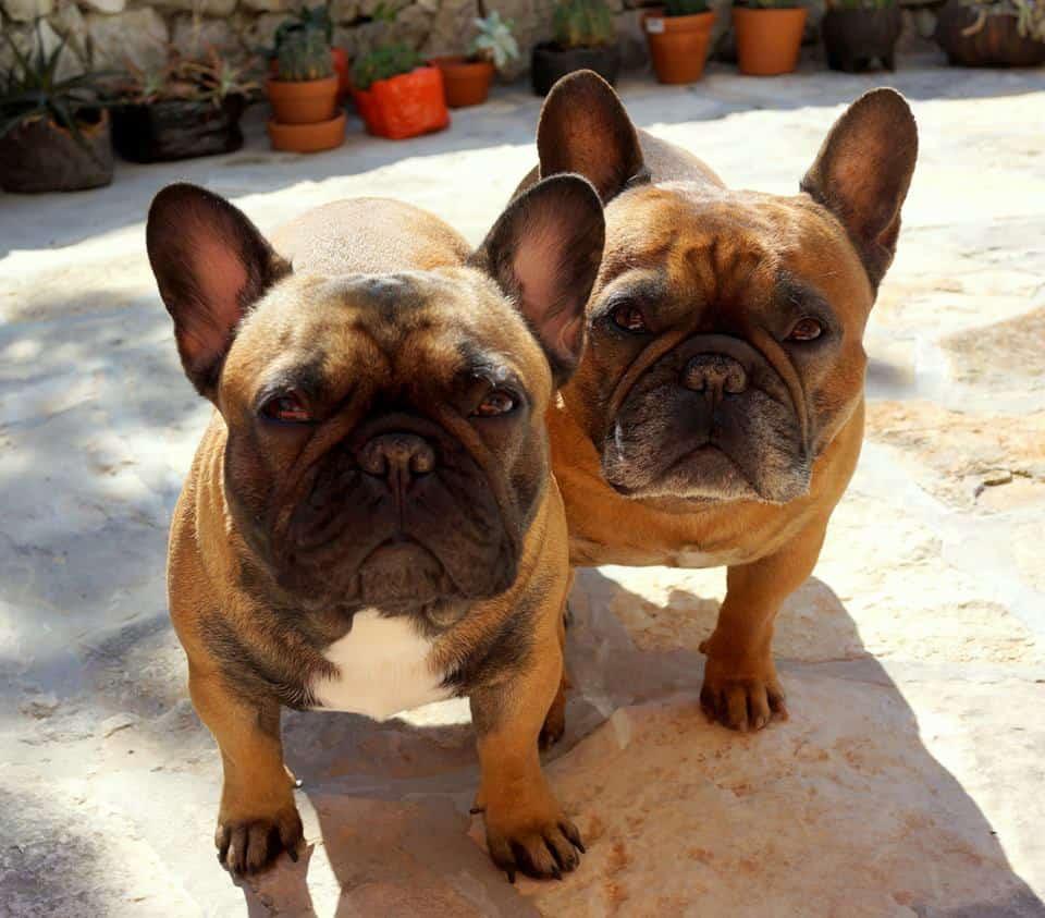 JUPITER FOR ORANGE FRENCHIES GLAMOUR FAWN LUNAVEGA ... Red Fawn French Bulldog